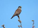 American Kestrel - Falco sparverius (female)