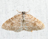 7428 - Brown-shaded Carpet - Venusia comptaria