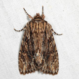 10521 - Confused Woodgrain - Morrisonia confusa