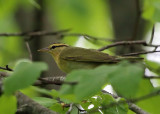 Worn-eating Warbler - Helmitheros vermivorum