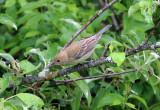 Indigo Bunting - Passerina cyanea (female)