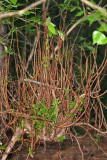 Moniliophthora perniciosa (Witch's Broom Fungus)