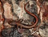 Four-toed Salamander - Hemidactylium scutatum