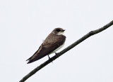 Bank Swallow - Riparia riparia