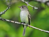 Willow Flycatcher - Empidonax traillii