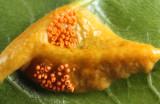 Puccinia coronota (on glossy buckthorn)