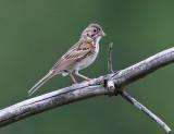 Sparrows - genus Pooecetes