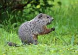 Woodchucks Marmots & Prairie Dogs