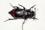 Nicrophorus pustulatus