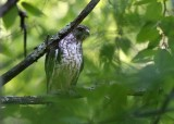 immature Broad-winged Hawk - Buteo platypterus