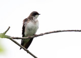 female Tree Swallow - Tachycineta bicolor