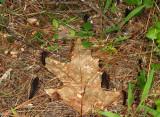 Geoglossum alveolatum