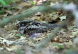 Eastern Whip-poor-will - Antrostomus vociferus