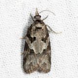 3567 - Gray Tortrix - Cnephasia stephensiana