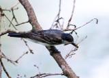 Eastern Kingbird - Tyrannus tyrannus (eating a dragonfly)