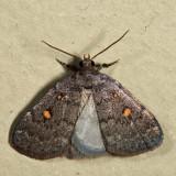 8329 - Orange-spotted Idia - Idia diminuendis