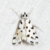 4794 - Spotted Peppergrass Moth - Eustixia pupula