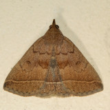 8352 - Yellowish Zanclognatha - Zanclognatha marcidilinea