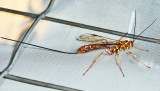 Megarhyssa macrurus