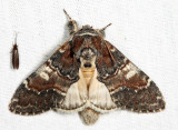 7921 - Chocolate Prominent - Peridea ferruginea