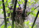American Robin on the nest