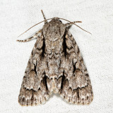 9229 - Speared Dagger - Acronicta hasta
