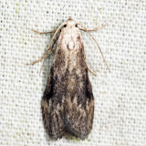 5630 – Terrenella Bee Moth – Aphomia terrenella