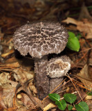 Strobilomyces floccopus (The Old Man of the Woods)
