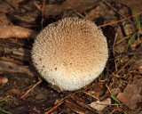 Lycoperdon gemmatum