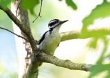 Hairy Woodpecker - Picoides villosus