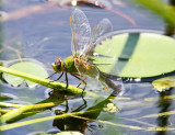 Common Green Darner - Anax junius (laying eggs)