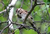Song Sparrow - Melospiza melodia (eating a moth)