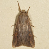 10438 - The White-speck - Mythimna unipuncta