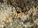 Stilbella fimetaria