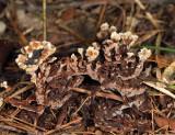 Thelephora terrestris