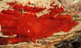 Hormomyces aurantiacus