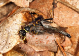 Ectemnius sp. (with Robber Fly prey)