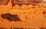 Phlebia radiata