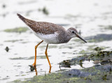 Shorebirds - genus Tringa