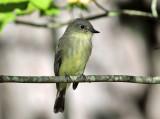 Eastern Phoebe - Sayornis phoebe (first year bird)