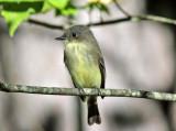 Eastern Phoebe - Sayornis phoebe
