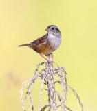 Swamp Sparrow - Melospiza georgiana