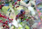 American Robin eating winterberries