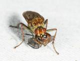 Scathophaga sp. with prey