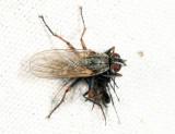 Coenosia tigrina (with prey)