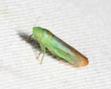 Neocoelidia tuberculata