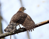 Coopers Hawk - Accipiter cooperii