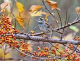 White-throated Sparrow - Zonotrichia albicollis
