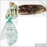 3471 – Hickory Shuckworm Moth – Cydia caryana IMG_5214.jpg