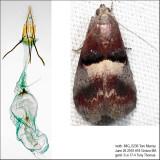 5672 – Cordovan Pyralid Moth – Acrobasis exsulella IMG_5236.jpg